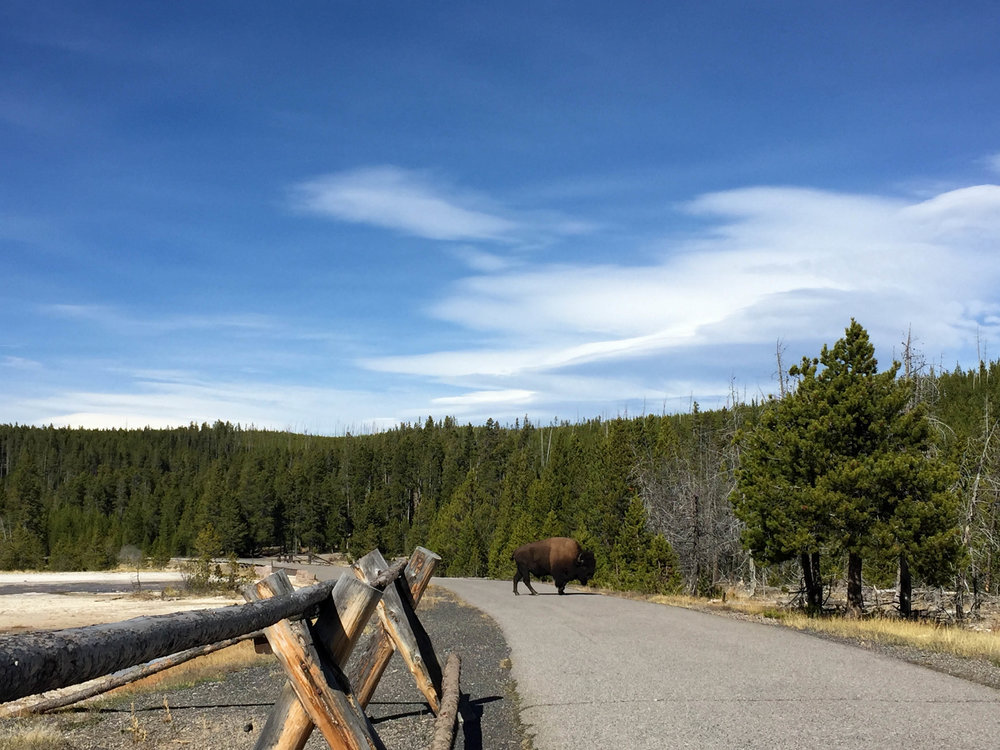 A bison crosses the road at  Yellowstone National Park  in 2016.