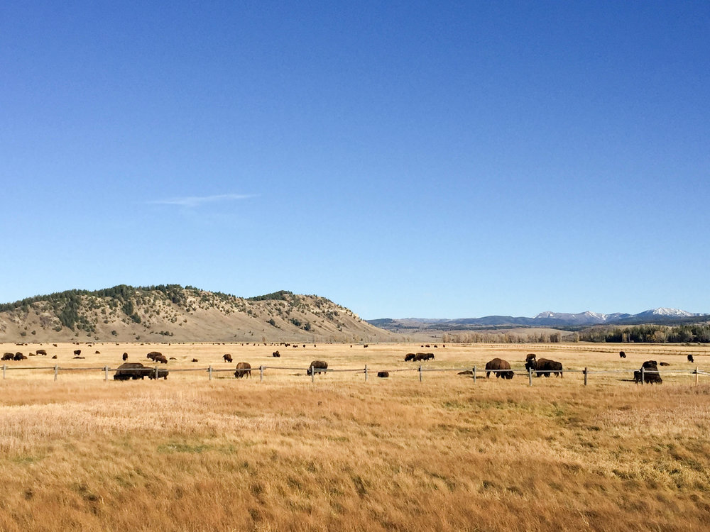 Bison roam near Yellowstone National Park in Jackson, Wyoming, October 2016.