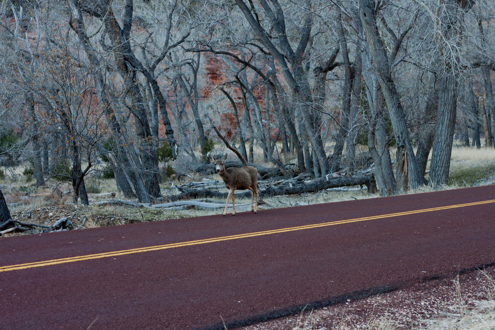 A mule deer prepares to cross a street in  Zion National Park , 2015.