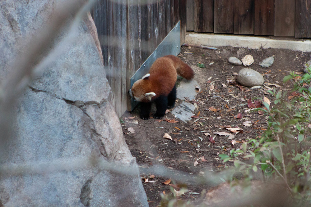 A curious red panda examines the door to is enclosure at  the Smithsonian's National Zoo  in Washington, D.C., October 2012.