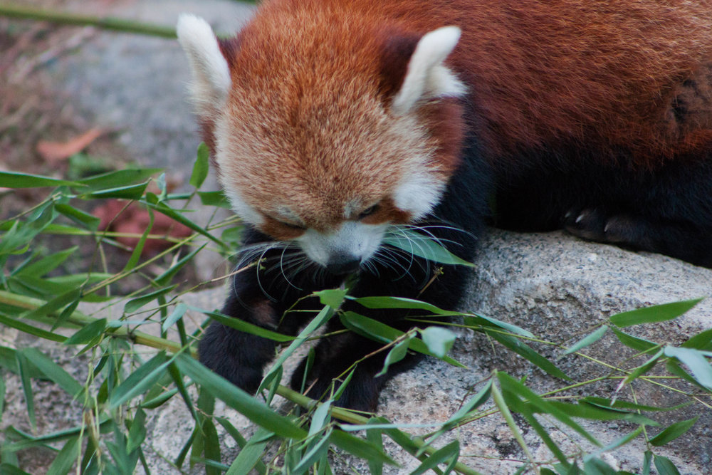 A red panda indulges in a snack at  the Smithsonian's National Zoo  in Washington, D.C., October 2012.