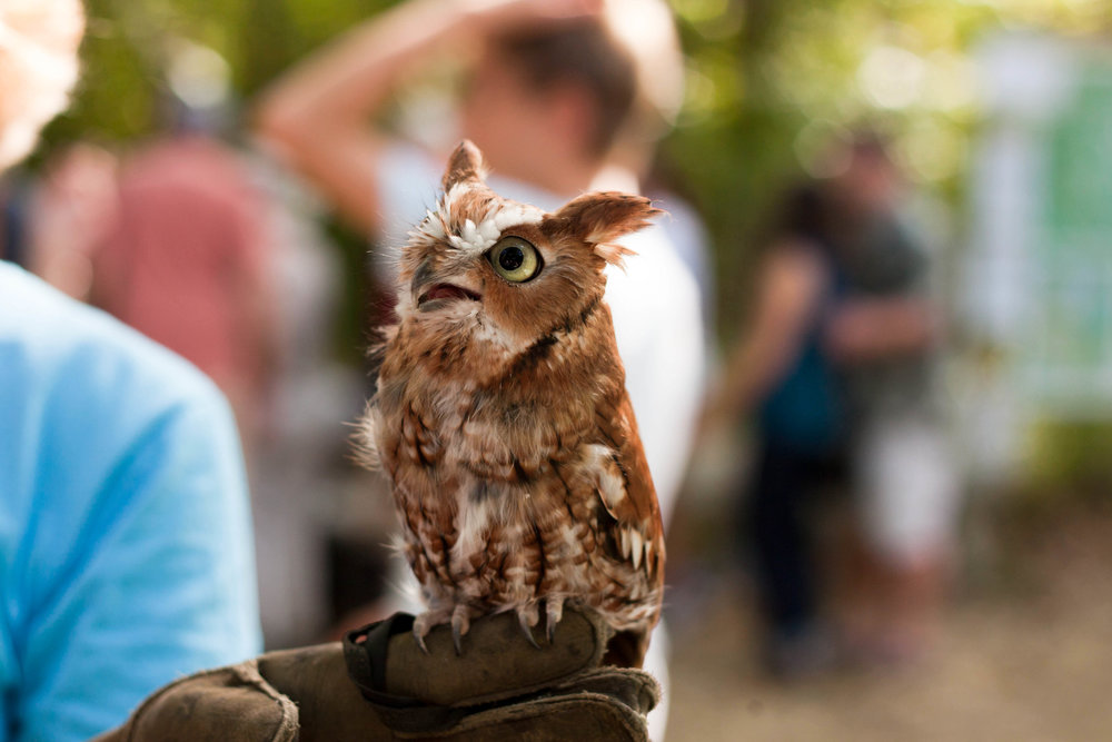 A representative of Denison Pequotsepos Nature Center shows off a rehabilitated owl during the 2014 Wild Mushroom Festival. Read the article  here .