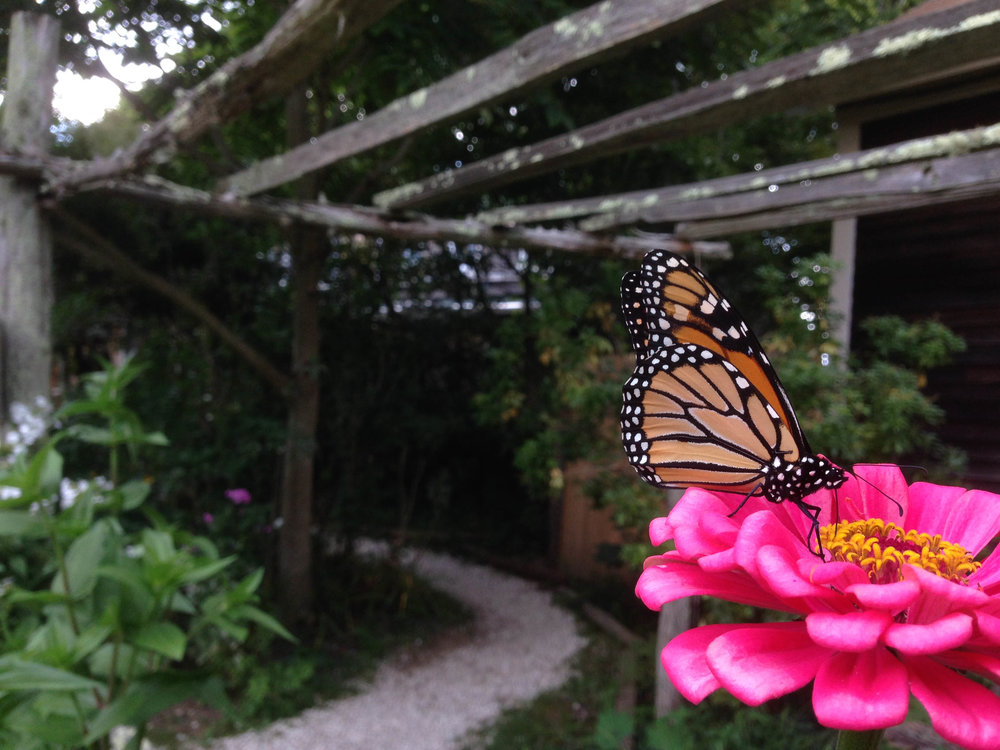 A butterfly feeds on a flower at the Fantastic Umbrella Factory in Charlestown, Rhode Island, 2014.