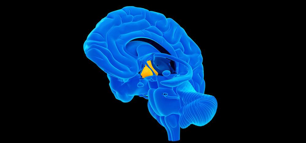 medically-accurate-illustration-Hypothalamus.jpg