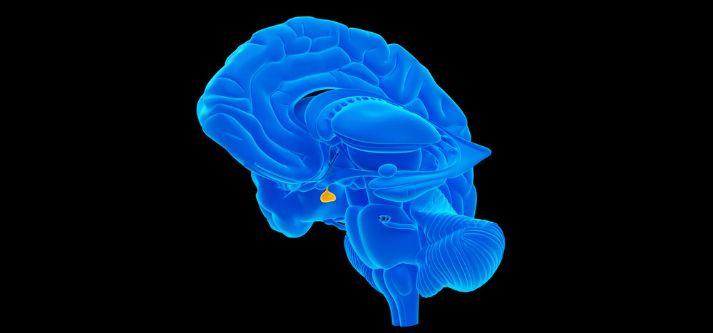 Pituitary-Gland-Image.jpg