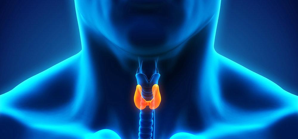Human-Thyroid-Gland-Image.jpg