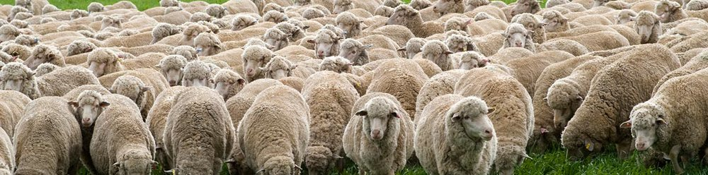 Sheep Central West NSW.jpg