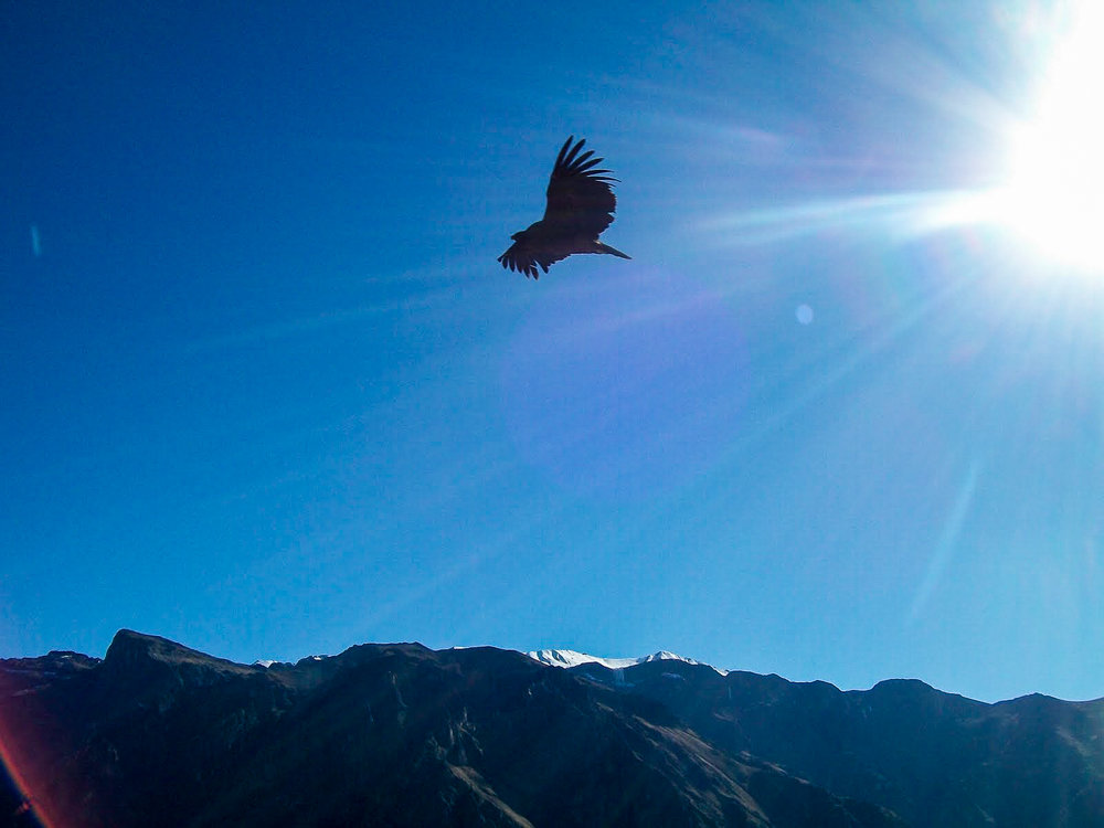 Condor at colca canyon.jpg