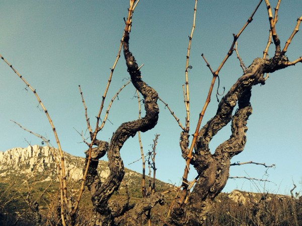 Old Vines at Maziere