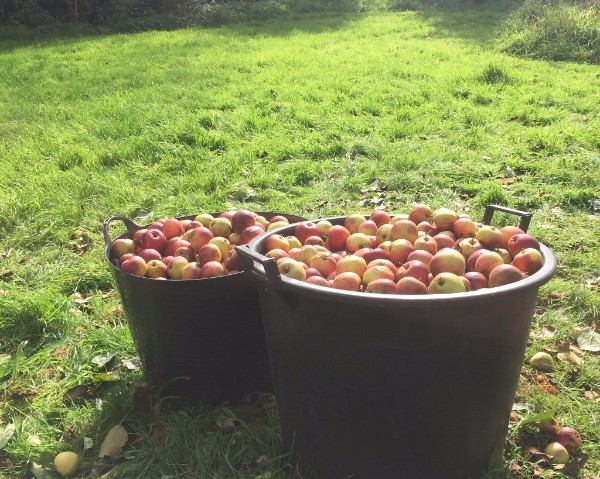 Apples in Somerset