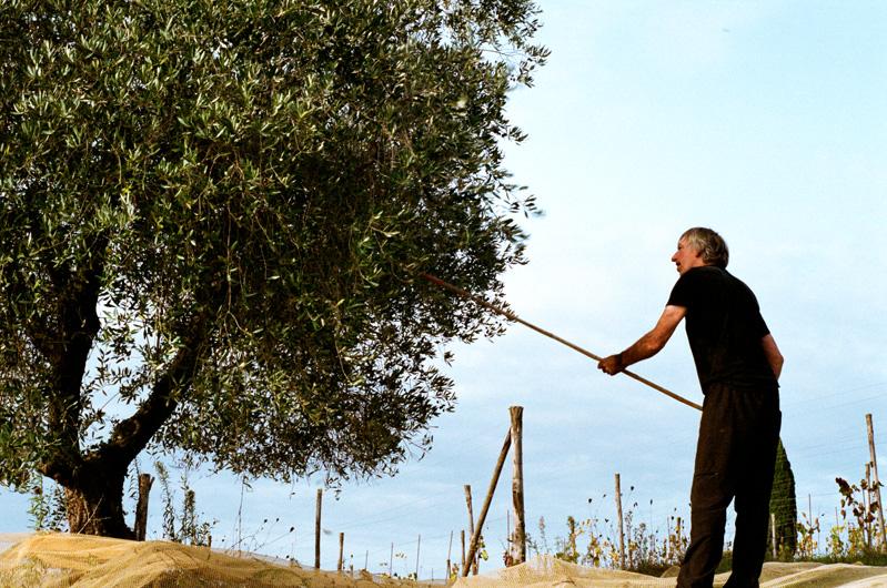 pacina_olive_trees_3.jpg