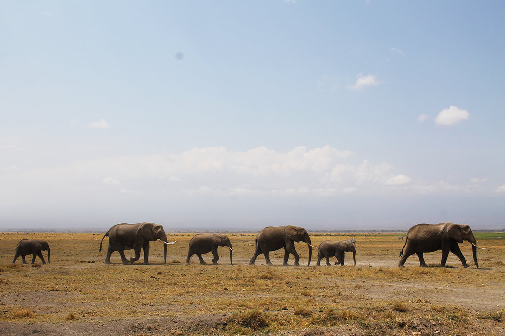 I AMBOSELI: I dette området finnes det mange elefanter. Disse var på vandring mot sumpen for å drikke vann. Foto: Hedda Bjerén