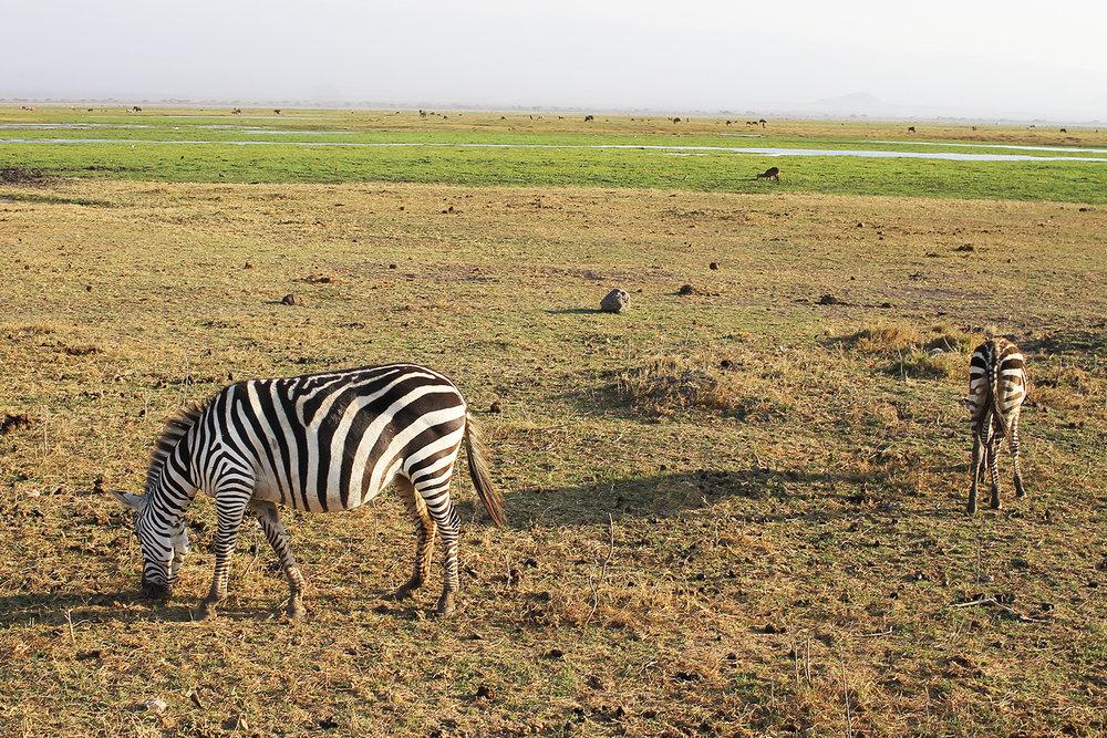 SE, ZEBRA: Vi så mange zebraer, såpass mange at det etterhvert føltes dagligdags. Foto: Hedda Bjerén