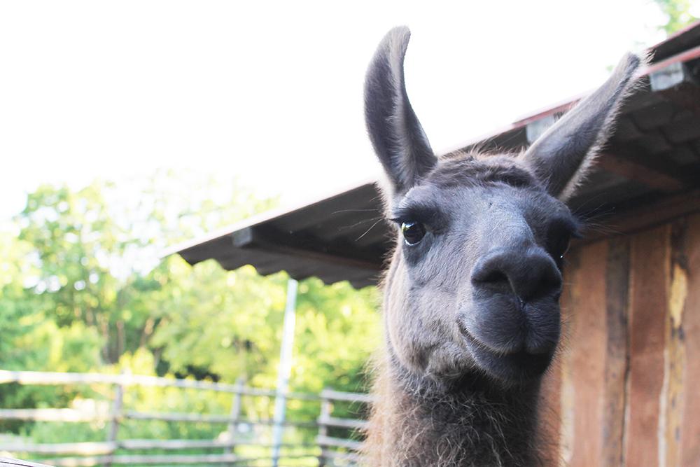 LAMA: Jeg var litt redd da jeg tok dette bildet, for jeg har hørt at lamaer er veldig gode på å spytte! Foto: Hedda Bjerén