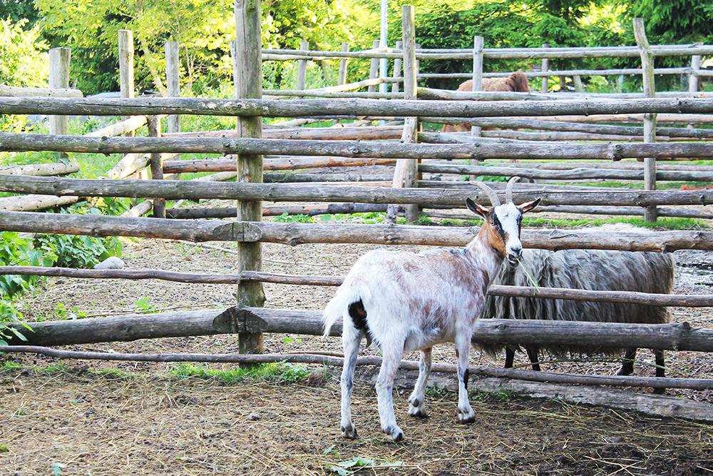 GEITER: Det er så gøy å besøke gårder med dyr, synes jeg! Foto: Hedda Bjerén