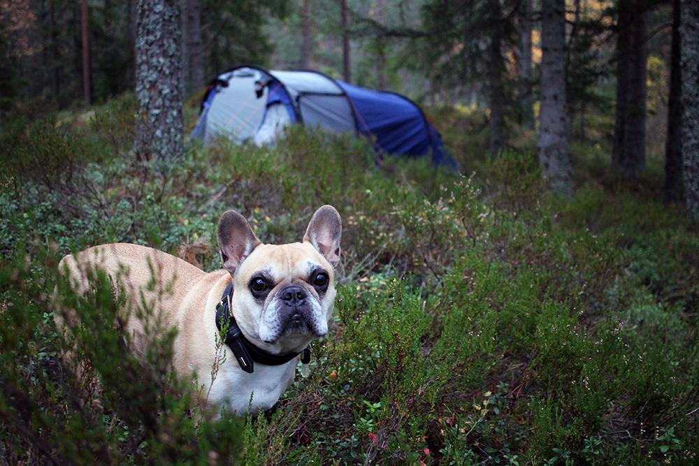 PÅ TELTTUR: Snoopy elsker å være med på telttur! Foto: Tenk Koffert