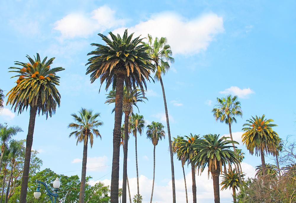 LOS ANGELES: Åh, palmer altså! Disse palmene i Beverly Hills er et yndet fotomotiv. Foto: Tenk Koffert