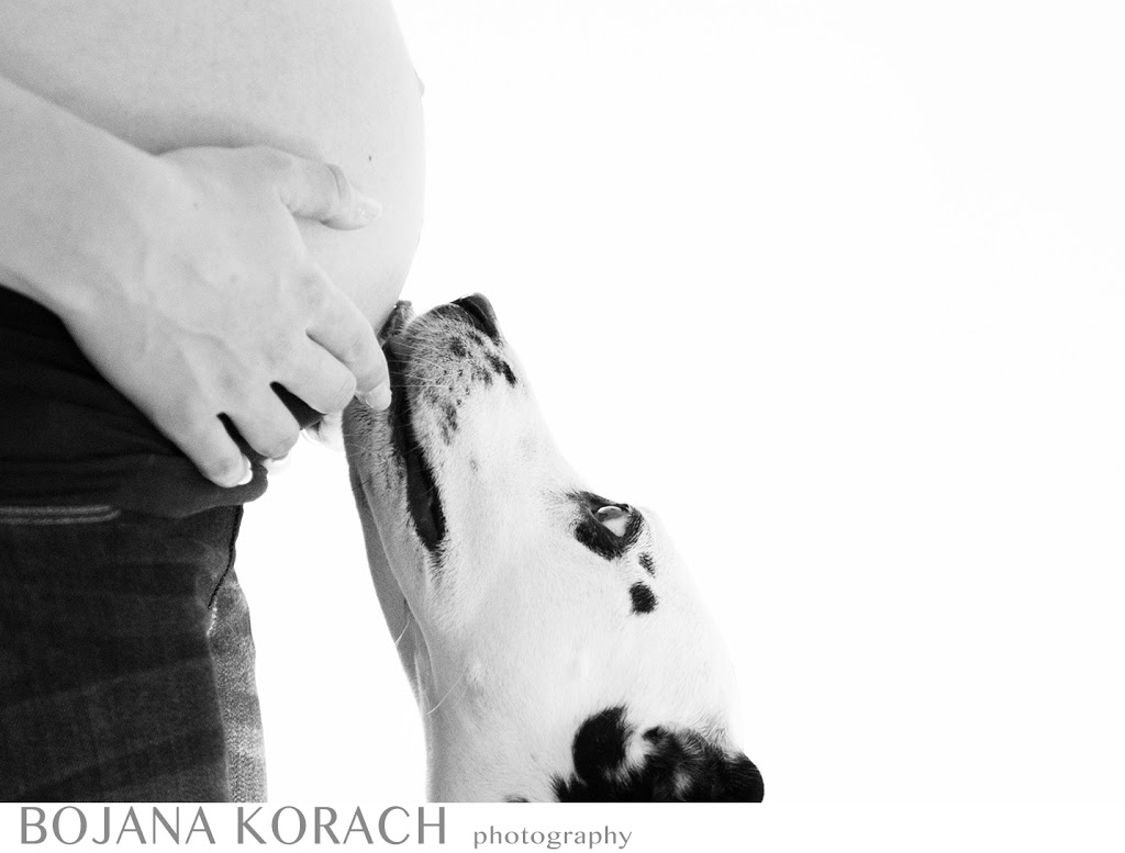 dalmatian dog kissing pregnant baby bump during the maternity session in san francisco bay area
