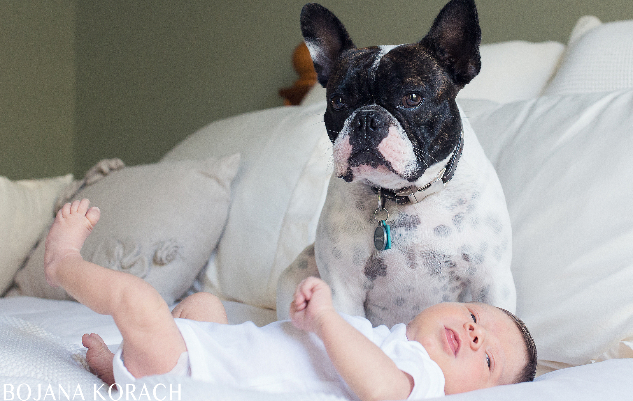 san-francisco-newborn-french-bulldog