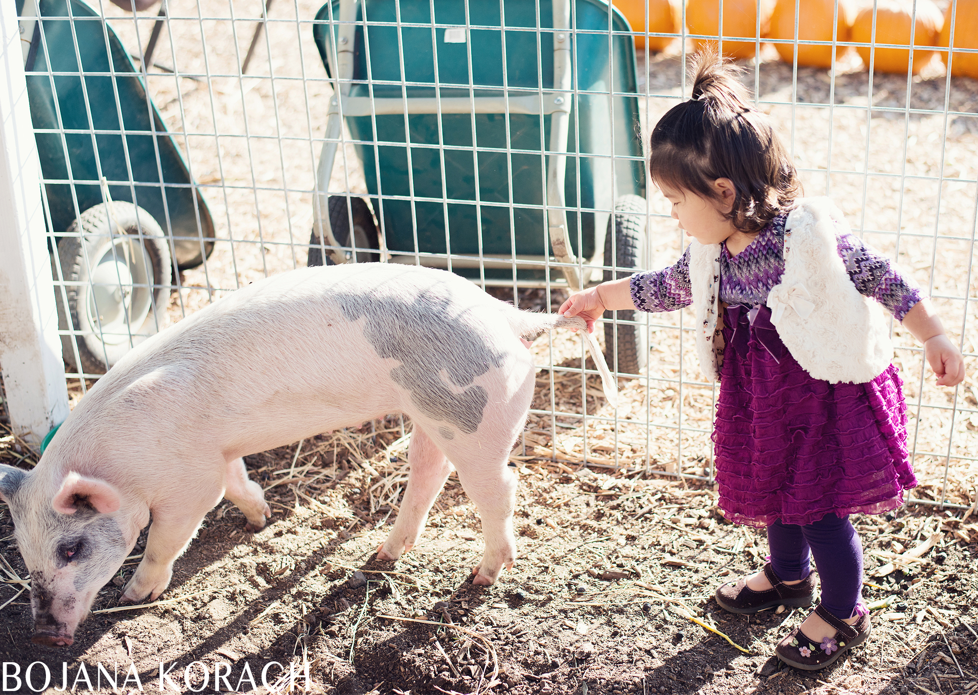 walnut-creek-family-photographer-pig