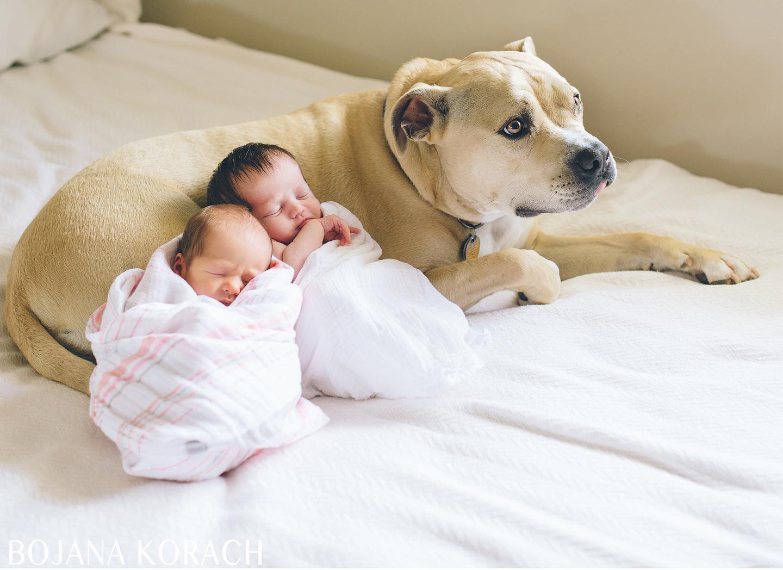 staffordshire terrier with newborn twin girls