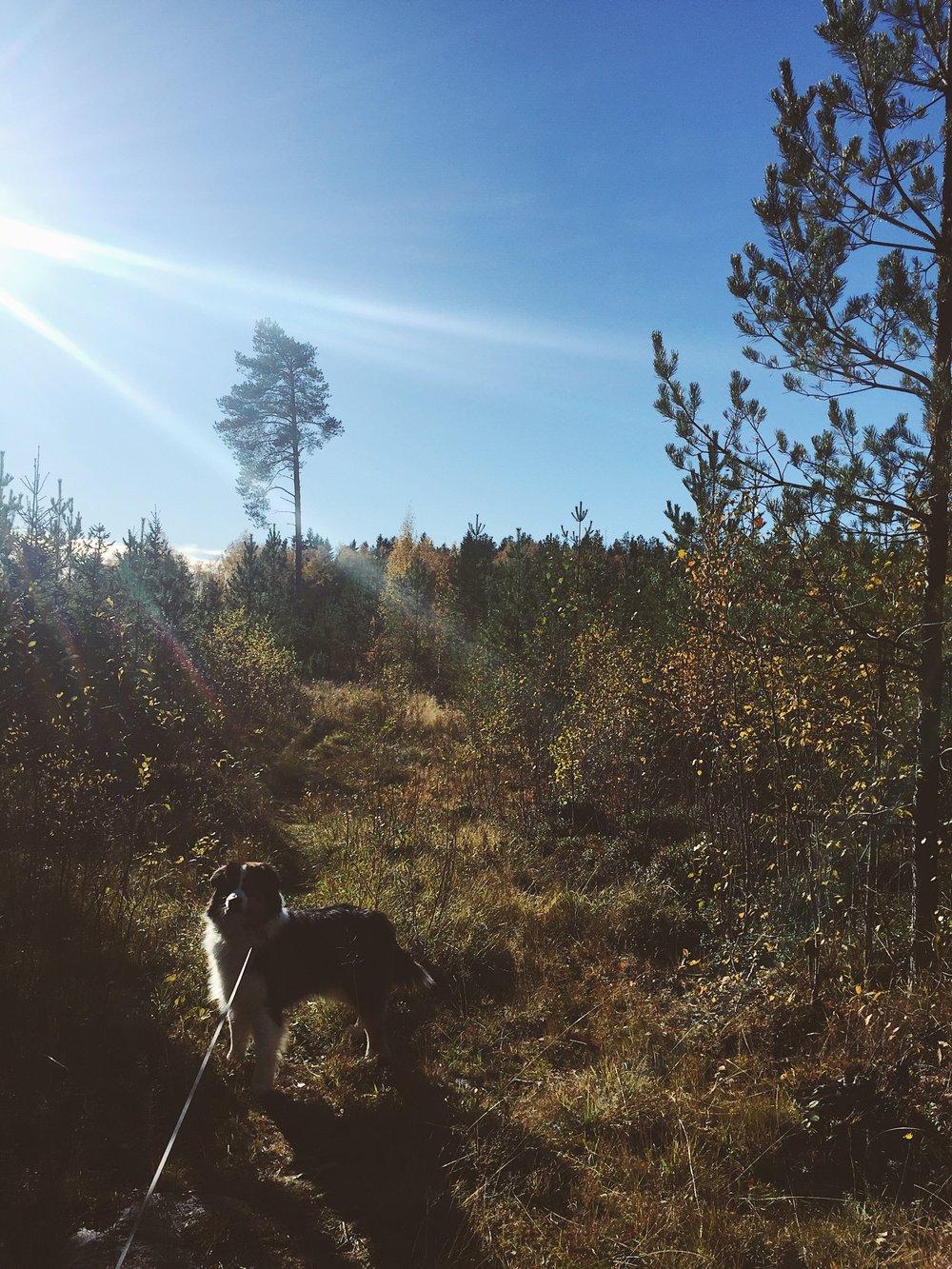 Med mina föräldrars hund Nelson, den australiska vallhunden, i skogarna i helgen.