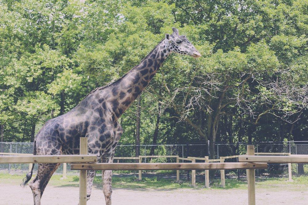 Murphy the Giraffe, Lehigh Valley Zoo, Schnecksville, PA