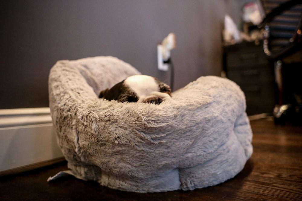 Allentown salon shop dog asleep in his bed.