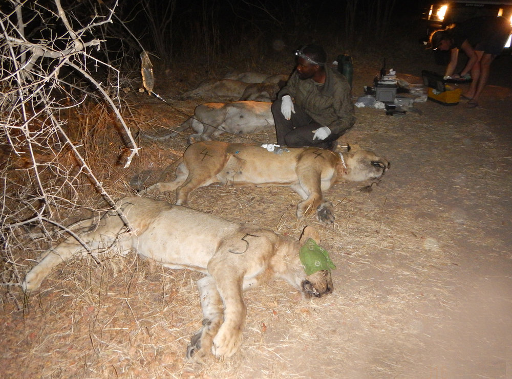 Treating lions for poisoning in the Luangwa  (Photo courtesy of M.Becker)
