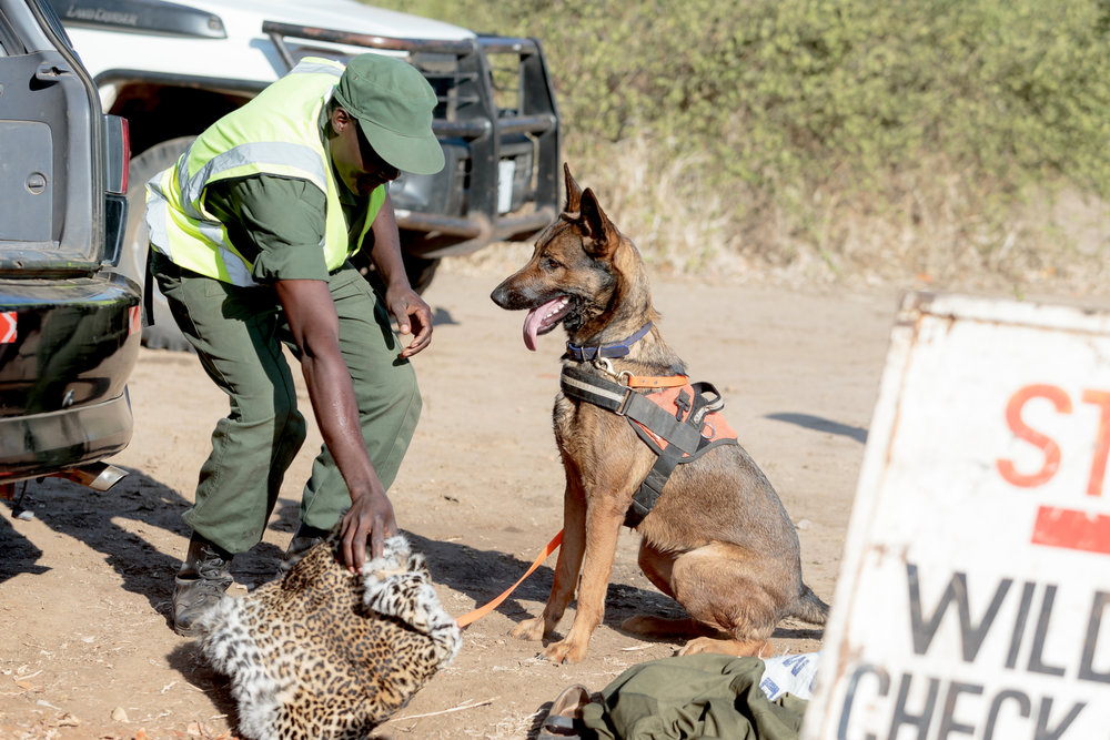 A detection dog for CSL-DNPW trained to find trafficked leopard and other big cat skin  (Photo Courtesy of Edward Selfe)
