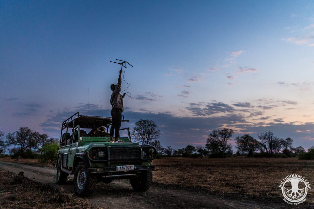 An intensive, long-term and year-round field effort is required to help protect the Luangwa's wild dogs, with ZCP's teams logging over 1,000 person days per year.