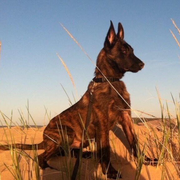 DJANGO - DUTCH SHEPHERD    ANTI-POACHING    SOLD