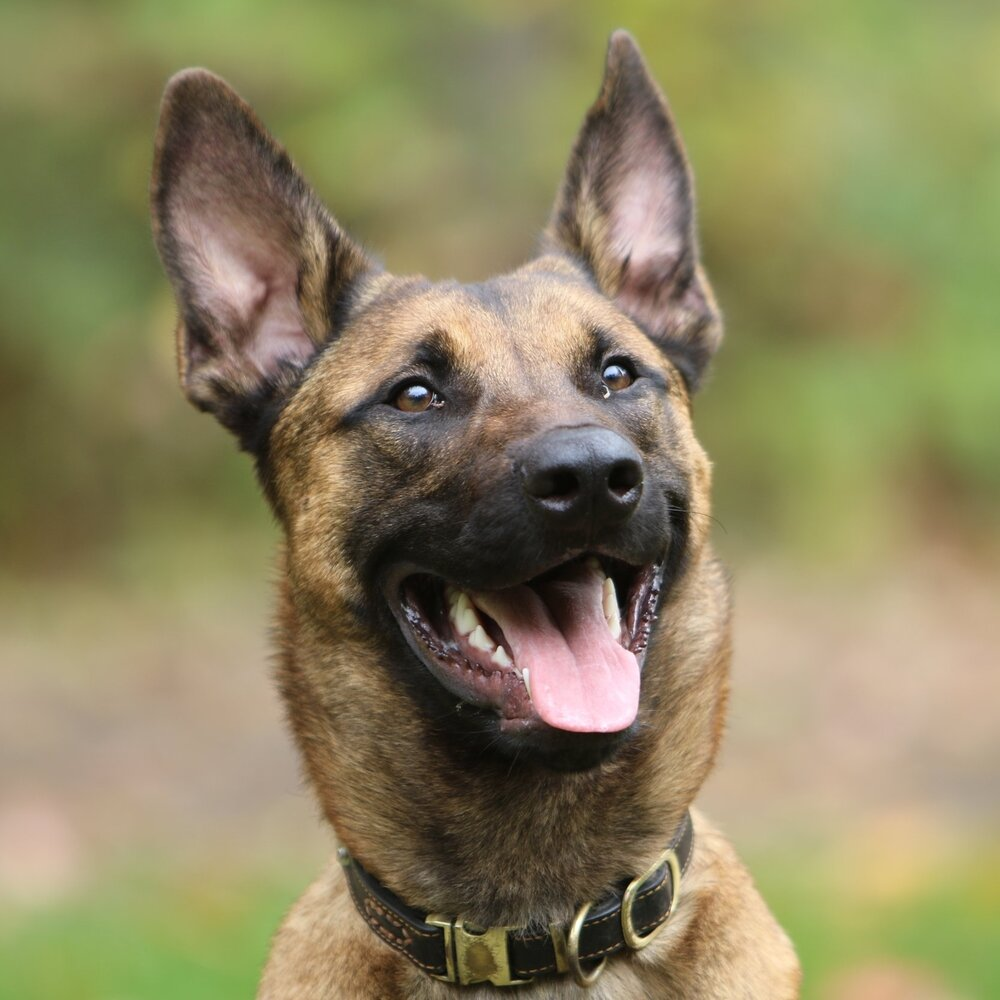 TYSON - BELGIAN MALINOIS      POLICE - DUAL PURPOSE      AVAILABLE SOON - $1   2   ,000