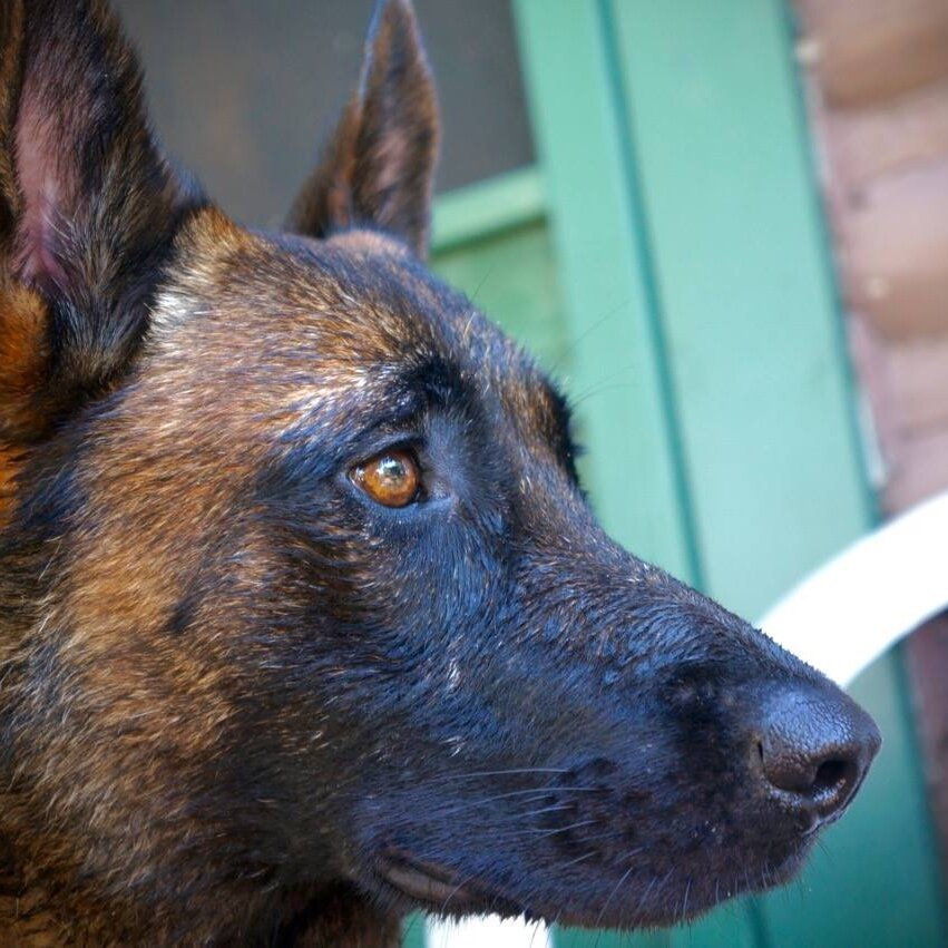 WHISKEY - BELGIAN MALINOIS    PROTECTION DOG    SOLD