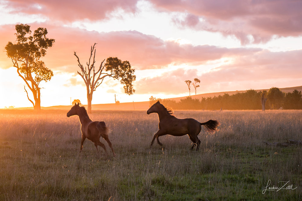 Horses, NSW Australia .jpg
