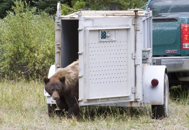 Releasing a black bear from a trap towed by the green GMC