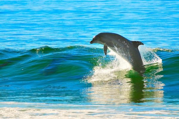JAG-Dolphin.jpg