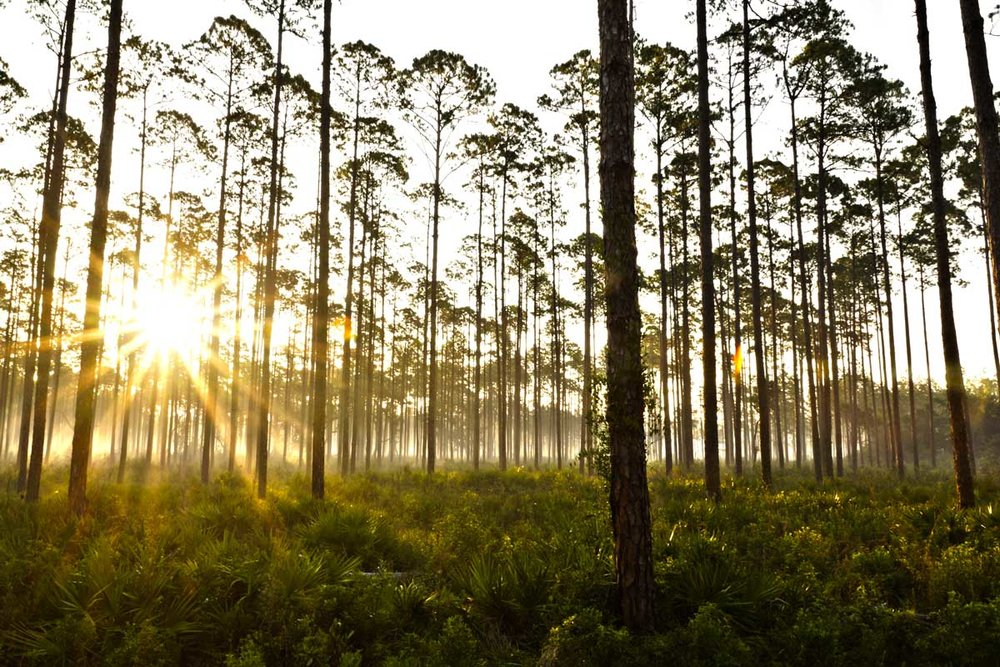 Tall Pines.jpg