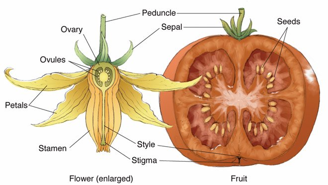 tomato-flower-fruit.jpg