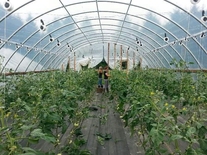 hoop house tomatoes204211242987480_4677187376321199902_n.jpg