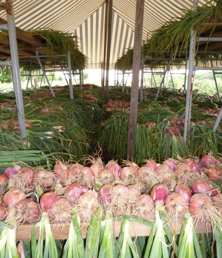 onions drying11182987486_8416823893350081966_n.jpg
