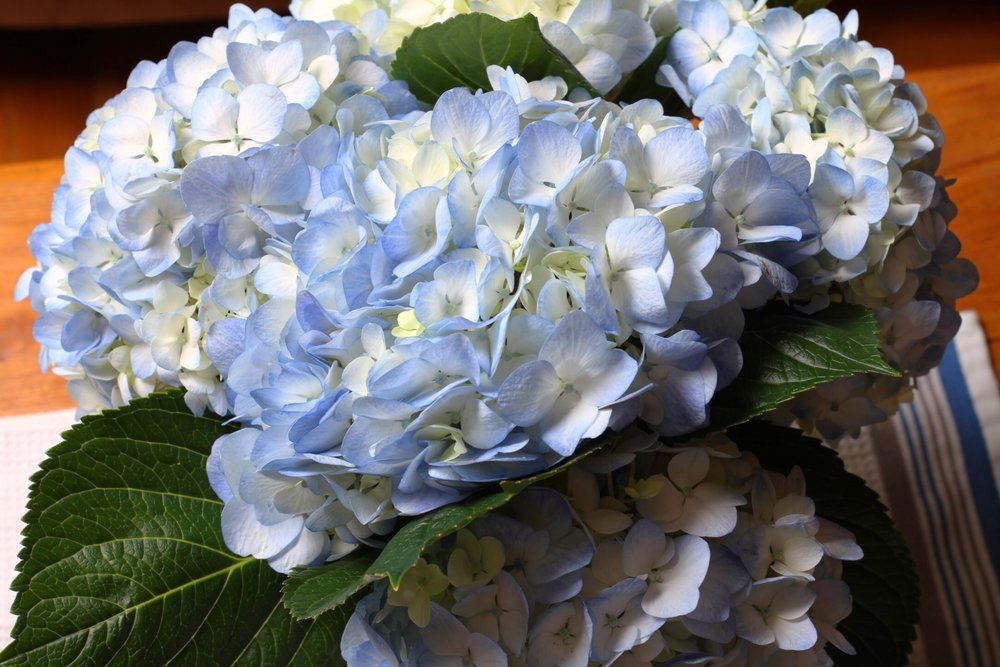 Fresh hydrangeas to celebrate our anniversary. :)
