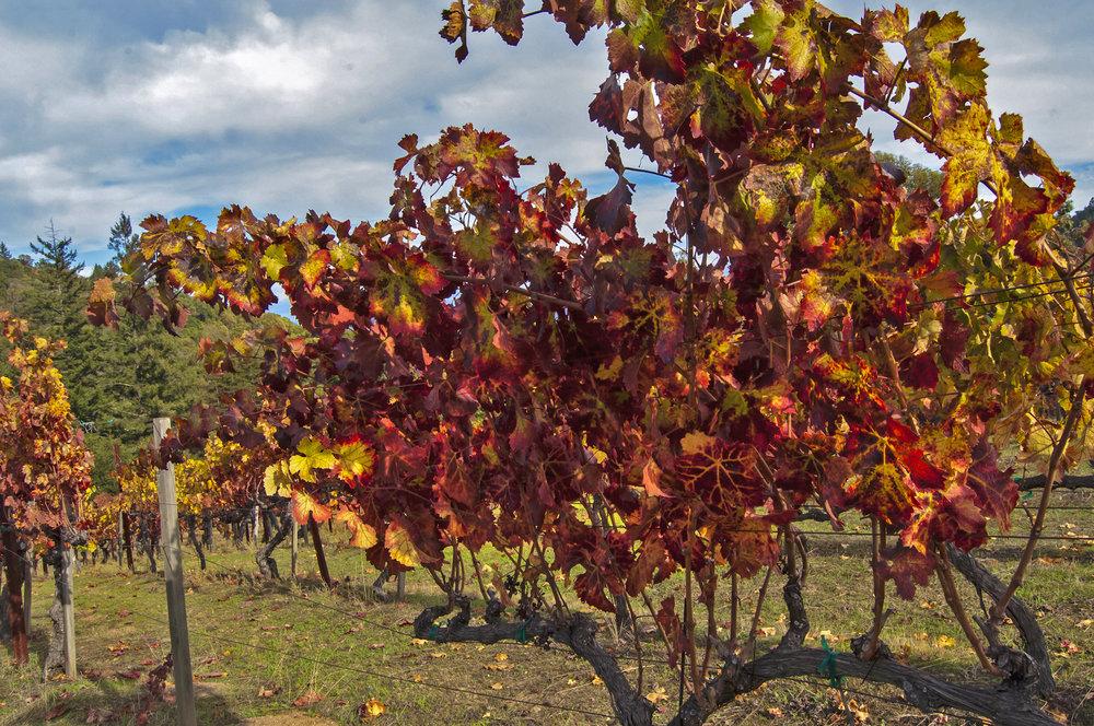Sav Chan vineyard trees