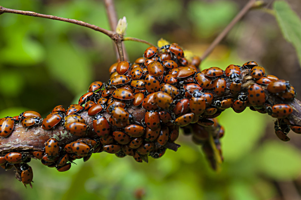Lady Bugs mating season is in the winter