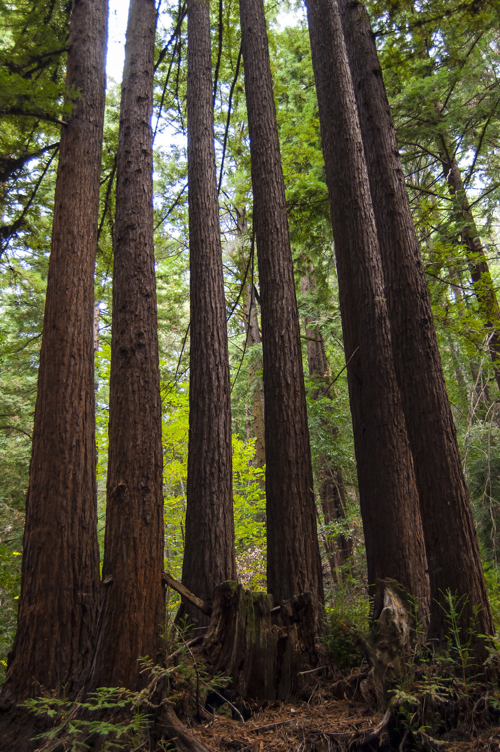 Redwoods on the vineyard land.