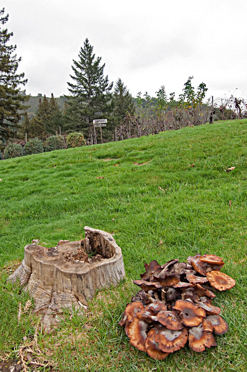 Fungi at the vineyard.