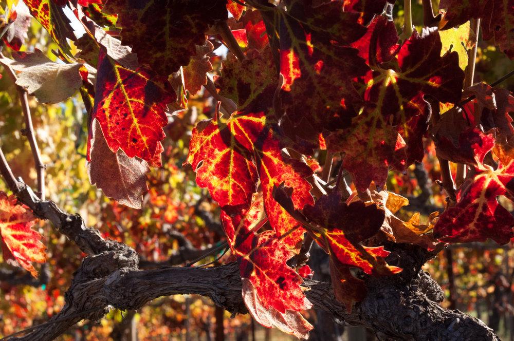 Sav Chan  vine tree leaves