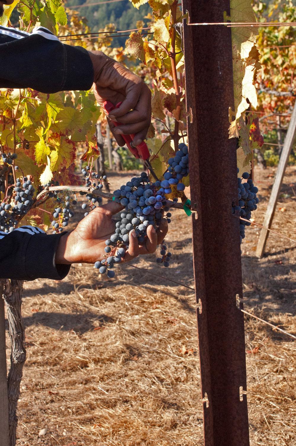 Sav Chan cutting of blue berries