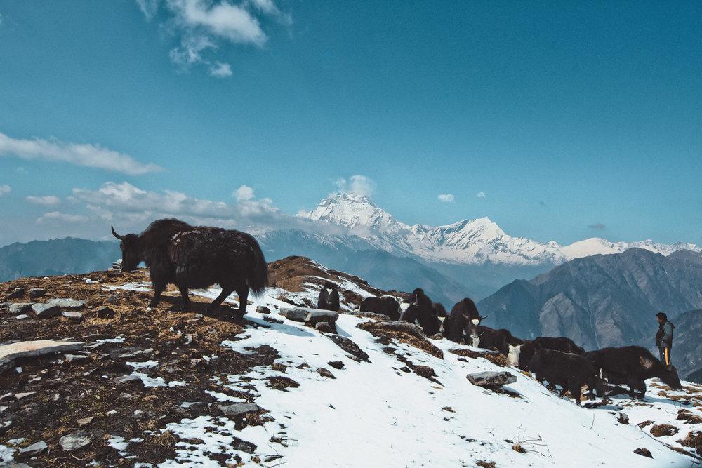 khopra-ridge-yak-herder6.jpg