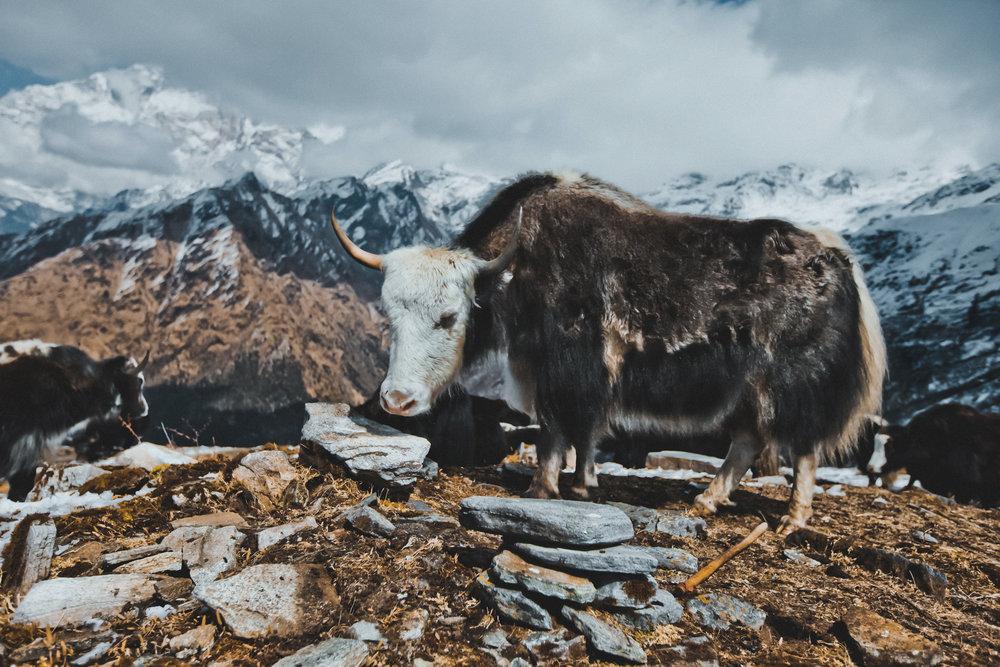 khopra-ridge-yak-herder5.jpg